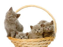 Group british shorthair kittens in basket. isolated Stock Images