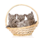 Group british shorthair kittens in basket. isolated Royalty Free Stock Photography