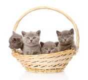 Group british shorthair kittens in basket. isolated on white Royalty Free Stock Photo