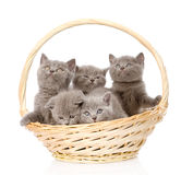 Group british shorthair kittens in basket. isolated on white Royalty Free Stock Photos