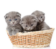 Group british shorthair kittens in basket.  on white Royalty Free Stock Photos