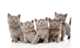 Group british shorthair kittens. isolated on white background Royalty Free Stock Photo