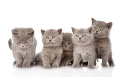 Group british shorthair kittens looking at camera. isolated on w Royalty Free Stock Images