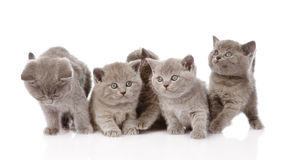 Group british shorthair kittens looking at camera. isolated on white Stock Photos
