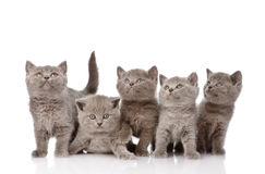 Group british shorthair kittens looking up. isolated. On white Stock Photography