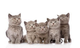 Group british shorthair kittens looking up. isolated Stock Photo