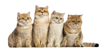 Group of British shorthair sitting in a row, Royalty Free Stock Image