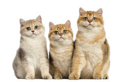 Group of British shorthair sitting in a row, Royalty Free Stock Images