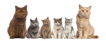 Group of British Shorthairs sitting Stock Image
