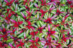 Group of bromeliad decoration plant in garden Stock Images