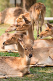 A Group of Brow-Antlered Deer Stock Photography