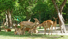 Group of brow antlered deer in the zoo Stock Image