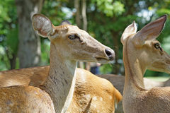 Group of brow antlered deer in the zoo Royalty Free Stock Images