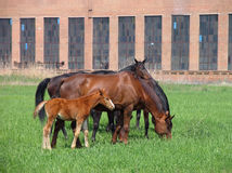 Group of brown adult horses and foal feeding not far from the farm. Group of brown adult horses and foal feeding on a green meadow not far from the farm in front Stock Image