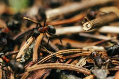 Group of brown ants working their nest in the woods in m. Ountains stock photography