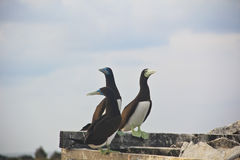 A group of brown booby Stock Photography