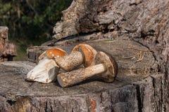 Group of brown cap boletus mushroom Boletus badius and porcini Stock Photography