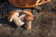 Group of brown cap boletus mushroom Boletus badius and porcini. Harvested at autumn amazing several edible mushrooms brown cap boletus known as boletus badius Stock Images