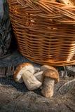 Group of brown cap boletus mushroom Boletus badius and porcini. Harvested at autumn amazing several edible mushrooms brown cap boletus known as boletus badius Royalty Free Stock Photos