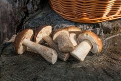 Group of brown cap boletus mushroom Boletus badius and porcini. Harvested at autumn amazing several edible mushrooms brown cap boletus known as boletus badius Royalty Free Stock Photography