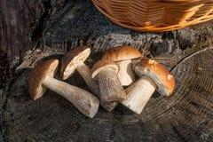 Group of brown cap boletus mushroom Boletus badius and porcini. Harvested at autumn amazing several edible mushrooms brown cap boletus known as boletus badius Stock Image