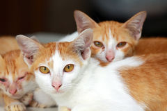A group of brown cat Stock Photography