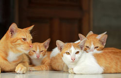 A group of brown cat Royalty Free Stock Images