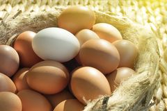 Group of brown chicken eggs except one white placed on a bird nest.  royalty free stock images