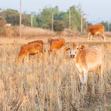 Group of brown cow eating dry grass on the farm in rural ,thaila Stock Image