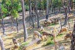 Group brown deer female and male full grown at eating grass fresh and hay in natural zoo and it is a popular tourist destination. royalty free stock photos