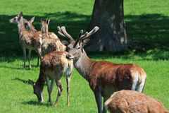 Group of Brown Deer on Green Grass Near Tree during Daytime Royalty Free Stock Images
