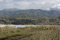 Group of Brown Deer Near Stalked by Brown Tiger Stock Photos