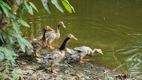 Group of Brown Ducks at Pond Stock Photos