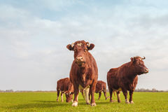 Group of brown Dutch cows in summer Stock Photography