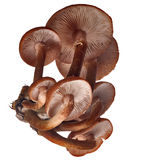 Group of brown honey fungus Royalty Free Stock Photo