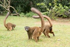 Eulemur fulvus. Group of brown lemur on grass Royalty Free Stock Photo