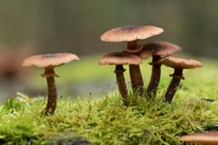 Group of brown mushrooms royalty free stock images