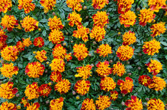 A group of brown/orange marigold Royalty Free Stock Images