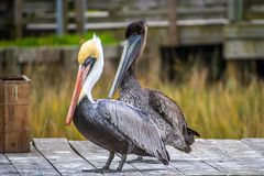 A Group of Brown Pelican resting around in Amelia Island, Florida. Set of large water birds strolling around the boardwalk in Atlantic coast royalty free stock image