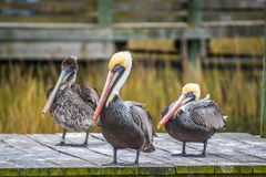 A Group of Brown Pelican resting around in Amelia Island, Florida. Set of large water birds strolling around the boardwalk in Atlantic coast stock images