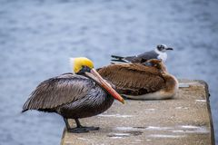 A Group of Brown Pelican resting around in Amelia Island, Florida. Set of large water birds strolling around the boardwalk in Atlantic coast stock image