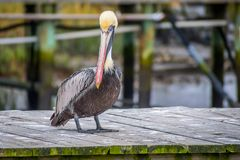 A Group of Brown Pelican resting around in Amelia Island, Florida stock image