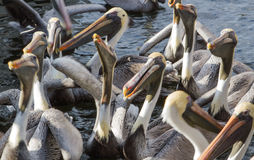 Group of Brown Pelicans Stock Photography