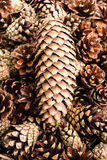 Group of  brown pine cones for backgrounds or textures. Close up Royalty Free Stock Photo