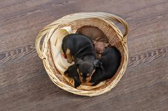 Group brown puppies sleep in the basket. Top view stock photos