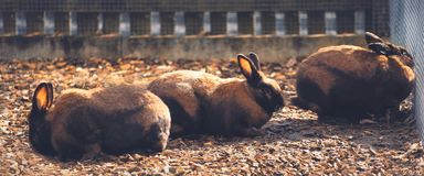 Group of brown rabbits behind a fence royalty free stock image