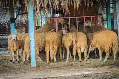 Group of brown sheep in the sheep farm. Are eating dry straw Royalty Free Stock Images