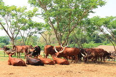 Group of brown Watusi Cows. Watusi Stock Photo