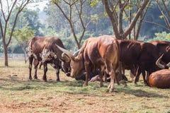 Group of brown Watusi Cows in the farm at Chiang Rai Royalty Free Stock Images