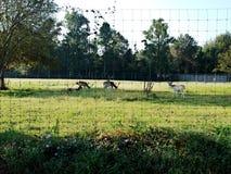 Group of Bucks Fallow Deer. A group of farm raised fallow deer bucks royalty free stock image